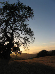 A sunset view of the rolling hills and oak trees of Hastings Natural History Reservation